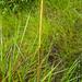2012-08-09 TEC-010 Schizachyrium sanguineum - E.P. Mallory