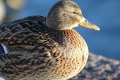 Sinisorsa (TheSaOk) Tags: lintu linnut birdlife bird birdwatch birdlover yleluonto luontokuva wildlife
