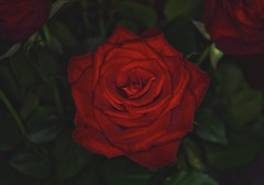 Red Rose (Alexis Kaylen) Tags: rose roses redrose red flower romance valentines day valentine sweet gift petals delicate plant