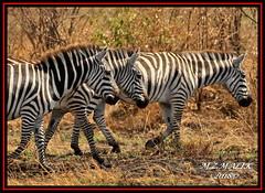 COMMON ZEBRAS (Equus burchelli).....MASAI MARA......OCT 2018. (M Z Malik) Tags: nikon d3x 200400mm14afs kenya africa safari wildlife masaimara keekoroklodge exoticafricanwildlife zebras ngc npc