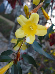 Blossoming Carolina Jessamine. (dccradio) Tags: lumberton nc northcarolina robesoncounty outdoor outdoors outside nature natural carolinajessamine flower floral flowers flowering southern beauty beautiful scenic plant yellow yellowflower yellowflowers sky march thursday evening goodevening thursdayevening spring springtime canon powershot a3400is