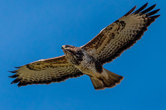 Common Buzzard (Buteo buteo) (Mikon Walters) Tags: buteo common buzzard hawk falcon bird brown feathers white black wings wingspan span wing fly flying flight prey predator animal animals creature living things outdoors wildlife life wild nature nikon d5600 sigma 150600mm contemporary super zoom lens photography 600mm