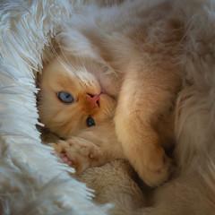 Safe and warm (FocusPocus Photography) Tags: tofu dragon katze cat bett bed tired sleepy müde niedlich cute blaueaugen blueeyes tier animal haustier pet kater