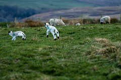 Boing. Boing. Spring..ing lambs (tonguedevil) Tags: landscape outdoor outside view countryside spring nature field hillside lambs sheep running jumping colour light shadow hillend weardale