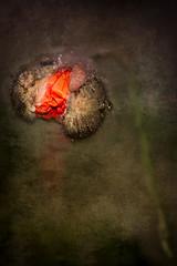Pavot 3 (gisèlerichardet) Tags: pavot rouge red bouton naissance fleur flower canon macro gouttes drops texture textura