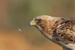 It Wasn't Me! (Phil Gower Bird Photography) Tags: booted eagle bird nature wildlife extremadura