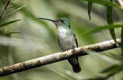 015A4593 Andean Emerald (suebmtl) Tags: bird birding hummingbird amaziliafranciae andeanemerald mindo ecuador pichinchaprovince