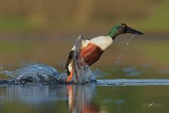 Potenza (mauro.santucci) Tags: mestolone anasclypeata anatidi uccelli uccello bird avifauna natura birdwatching wildlife wild ngc