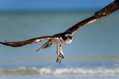 My, what sharp talons you have! (craig goettsch) Tags: sanibel2018 raptor birdofprey osprey bird avian florida beach nikon d850