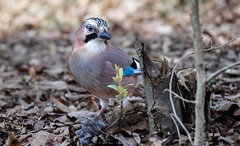 a Jay on the ground (Franck Zumella) Tags: bird jay geai leaves ground eat eating manger sol blue bleu nature animal oiseau wildlife winter hiver