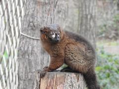 Red Bellied Lemur (Simply Sharon !) Tags: redbelliedlemur primate animal yorkshirewildlifepark