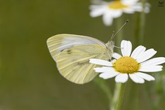 """Borboleta"", Green-veined White (Pieris napi) (Nuno Xavier Moreira) Tags: borboleta greenveinedwhitepierisnapiemliberdadewildlifenunoxavierlopesmoreira animals animais nature natureza selvagem pics wildlife wildnature wild photographer portugal ao ar livre ngc nuno xavier moreira nunoxaviermoreira liberdade national geographic borboletas butterfly butterflies macro miniaturas insectos insects all xpress us"