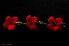 Three... (Maria Godfrida) Tags: smileonsaturday threesame flowers nature flora three inarow kalanchoë blackbackground red closeup macro contrast calanchoe cof055john