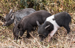 Three Little Pigs - HSoS (11Jewels) Tags: canon 70300 threesame smileonsaturday circlebbarreserve lakelandfl 3littlepigs