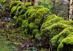 Swans Neck Thyme Moss (rustyruth1959) Tags: footpath stick wet outdoor twig stones walltop tree leaf greenery nature drystonewall moss path wall ripponden calderdale yorkshire england uk nikon1855mm nikond5600 nikon