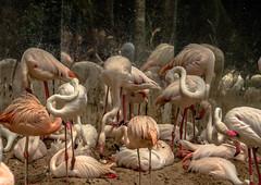 ART IN FLAMINGOS (SAFIRE PHOTO) Tags: nature flamingo flamingobirds