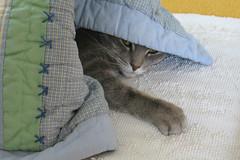 Millie 25 February 2019 2471 (edgarandron - Busy!) Tags: millie graytabby cat cats kitty kitties tabby tabbies cute feline