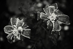 Canon EOS 60D - Monochrome - Not the healthiest looking flowers... (Gareth Wonfor (TempusVolat)) Tags: picmonkey garethwonfor tempusvolat mrmorodo gareth wonfor tempus volat canon eos 60d mono monochrome black white flower