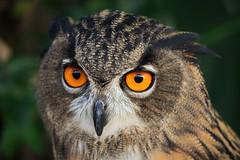✪掛川花鳥園のふくろう君 (haguronogoinkyo) Tags: nikon d610 japan 静岡 掛川 花鳥園 ふくろう 梟 鳥 bird owl animal 動物 zoo 動物園