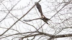 bald eagle (sub-adult) (quadceratops) Tags: new york upstate nature fort edward raptor bald eagle