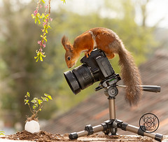 Red squirrel standing behind a camera and a egg with a plant (Geert Weggen) Tags: squirrel camera red animal backgrounds bright cheerful close color concepts conservation culinary cute damage day earth environment environmental equipment love valentine flower photo bouquet wheelbarrow photographer egg easter plant youn geert weggen hardeko bispgården ragunda sweden jämtland