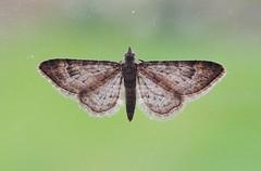 Moth on a window, Sandy, Bedfordshire (orangeaurochs) Tags: moths sandy bedfordshire