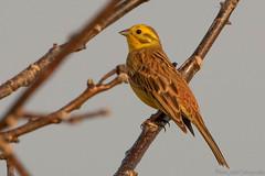 Serin Cini (Foto_phil67) Tags: alsace bruantjaune ried serincini animaux nature oiseaux rossfeld basrhin france fr