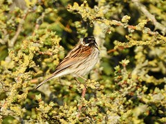 Reed Bunting (LouisaHocking) Tags: british bird southwales wild wildlife nature goldcliff lagoons newport rspb reedbunting bunting garden