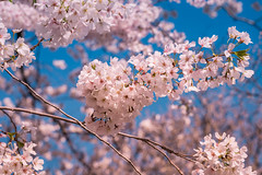 Blossoms on Capitol Hill (John Brighenti) Tags: dc washington districtofcolumbia capitolhill cherry blossoms spring april sunny weather sky blue pink purple flowering trees blooms bloom tree branches sticks twigs trunk wood plant growth life urban city capital us unitedstates america sony alpha a7rii ilce7rm2 tamron 2875mm emount femount nex ilce bealpha sonyshooter zoom wide angle lens bokeh depthoffield