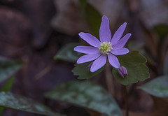 Rue Anenome (Bernie Kasper (5 million views)) Tags: art berniekasper cliftyfallsstatepark color cliftyfalls colour d750 family flower floral flowers fun green hiking indiana indianawildflowers jeffersoncounty light landscape leaf leaves love madisonindiana macro madisonindianacliftyfallsstatepark nature nikon naturephotography new outdoor outdoors old outside photography plant park plants photos photo raw sigma spring statepark travel trail unitedstates usa rueanenome wildflower wildflowers bloom