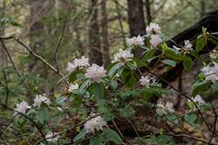 Rhododendron carolinianum (Carolina Rhododendron) (jimf_29605) Tags: rhododendroncarolinianum carolinarhododendron chestnutridgeheritagepreserve greenvillecounty southcarolina wildflowers sony a7rii 24240mm