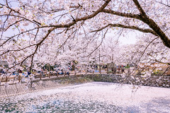 Floral raft (Hiro_A) Tags: cherryblossoms flower pond tree sakura pink floralraft flowerraft saijo ehime shikoku japan nikon d7200 sigma 1770mm 1770