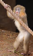 mandrill artis 094A0227 (j.a.kok) Tags: animal artis africa afrika aap mammal monkey mandril mandrillussphinx mandrill zoogdier dier primate primaat