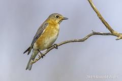 Eastern Bluebird (female) IMG_4110 (ronzigler) Tags: thrush songbird nature birdwatcher avian wildlife bluebird eastern bird watcher