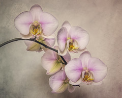 Orchids (Just Josie) Tags: orchid flower flowers textured texture textures finearttextures stilllife