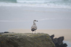 Bird on a rock (Working hard for high quality.) Tags: bird rock fistral newquay water fog waves wing animal adventure