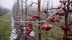 `s-Heerenhoek (Omroep Zeeland) Tags: mist en bevroren rijp op de bomen appeltjes