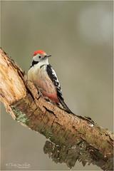 Middle Spotted Woodpecker (Gertj123) Tags: birds bokeh netherlands hide holterberg arjantroost avian animal winter woodpecker canon tree