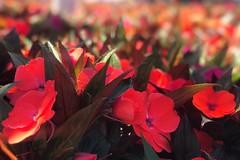 Love is the flower, you've got to let grow.... Orlando, Florida. (marjanrad) Tags: disneyland orlando redflower flowet florida