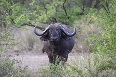 African Buffalo (bikohuester) Tags: buffalo wildlifephotography wildlife big5 adventure travel safari africa kenya