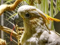 Yellow-crested Cockatoo (sander_sloots) Tags: yellowcrested cockatoo kleine geelkuifkaketoe kaketoe bird vogel cacatuasulphurea indonesia avonturia vogelkelder denhaag thehague parrot papegaai
