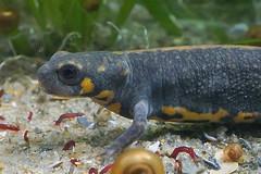 Cynops cyanurus (henk.wallays) Tags: caudata aaaa nature chordata amphibia cynops cynopscyanurus salamandridae year2019 date