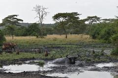 At the watering hole (Capemarsh) Tags: buffalo waterbuffalo waterbuck baboon warthog wildlife uganda africa savannah