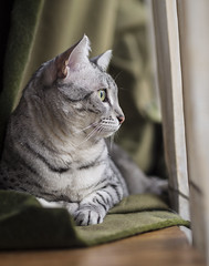 Nala (lauriepetsitterparis) Tags: mignon minou minette miaou nala chatte chat mau egyptien race loof cute sweet sweety cat catsitter petsitter petsitting