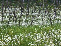 Spring below Slavnik (Vid Pogacnik) Tags: slovenija slovenia istra istria prešnica dandelions spring flora vineyard