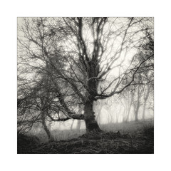 Coming Through (gerainte1) Tags: hasselblad501 pancro400 film blackandwhite trees woodland winter guiscliffe yorkshire mist