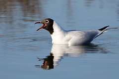 Black-headed Gull-7D2_2563-001 (cherrytree54) Tags: black headed gull rye harbour east sussex canon sigma 7d 150600