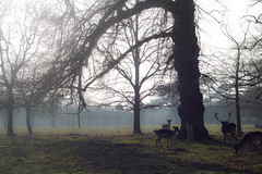 Fallow Deer at Charlecote Park (JW.Andrews) Tags: fallow deer wildlife charlecote park warwickshire national trust nationaltrust foggy winter