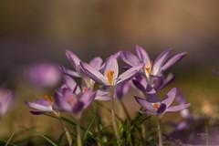 It is getting warmer (THW-Berlin) Tags: spring plants flowers pflanzen frühling gras blüten sony sigma alpha6500 135mm