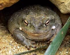Coloradokröte (Incilius alvarius) P1050181 (martinfritzlar) Tags: zoo frankfurt zoofrankfurt tier amphibie froschlurch kröte coloradokröte sonoranetzkröte bufonidae incilius inciliusalvarius amphibian toad coloradorivertoad sonorandeserttoad